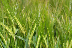 Trigo verde no campo fotografia de stock royalty free