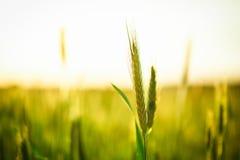 Trigo verde no campo Imagens de Stock