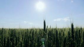 Trigo verde no campo Spikelets do trigo que balançam no vento Campo agrícola na vila Cultivo de filme