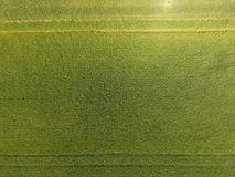 Trigo verde no campo, vista superior com um zangão Textura do fundo do verde do trigo imagens de stock