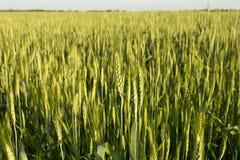 Trigo verde no por do sol Fotos de Stock