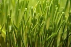 Trigo verde novo Imagem de Stock Royalty Free