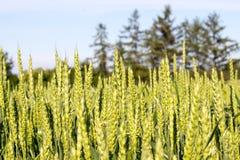 Trigo verde novo Foto de Stock