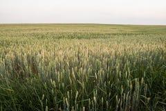 Trigo verde novo em um campo bonito em um por do sol Trigo de amadurecimento das orelhas agricultura Produto natural Fotografia de Stock