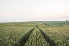 Trigo verde novo em um campo bonito em um por do sol Trigo de amadurecimento das orelhas agricultura Produto natural Imagens de Stock