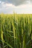 Trigo verde sob o céu dramático Imagem de Stock Royalty Free