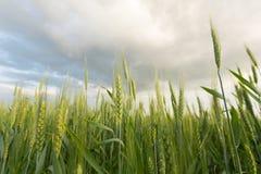 Trigo verde sob o céu dramático Foto de Stock