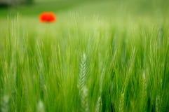 Trigo verde y amapola solitaria Fotografía de archivo libre de regalías