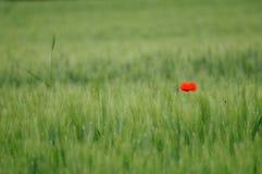 Trigo verde y amapola solitaria Fotografía de archivo