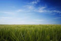 Trigo y cielo azul imagen de archivo libre de regalías
