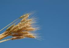Trigo y el cielo azul Imagen de archivo