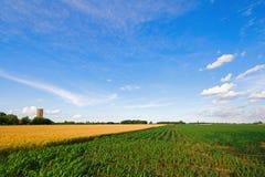 Trigo y maíz Foto de archivo libre de regalías