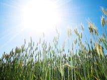 Trigo y sol verdes imagenes de archivo