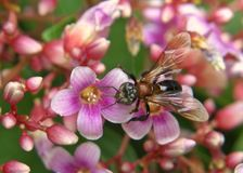 Trigona蜂 免版税库存照片