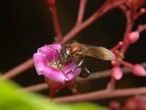 Trigona蜂 免版税图库摄影