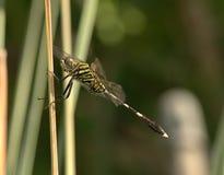 Dragonfly. Location: Gurun Kedah Malaysia stock photo