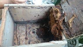 Trigona di api dell'ape fotografie stock