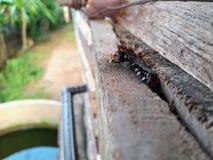 Trigona laeviceps royalty free stock images