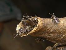 Trigona pszczoła Obraz Stock