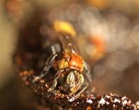 Trigona pszczoła Zdjęcie Stock