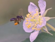 Trigona pszczoła Fotografia Stock