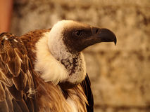 Trigonoceps occipital - White-headed Vulture. Contour of head of vulture stock image