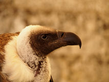 Trigonoceps occipital - White-headed Vulture. Contour of head of vulture royalty free stock photography