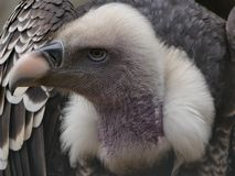 Trigonoceps occipitalis - white headed vulture portrait view. Trigonoceps occipitalis - a white headed vulture viewed from the front royalty free stock photography
