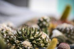 Trigonus Ariocarpus κάκτων στο μουτζουρωμένο κλίμα, θέση για Στοκ εικόνα με δικαίωμα ελεύθερης χρήσης