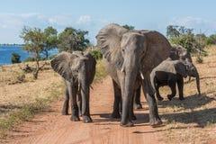 Trilha de sujeira obstruída pela família dos elefantes Imagem de Stock