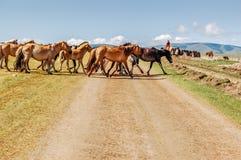 Trilha de sujeira transversal dos cavalos do Mongolian Foto de Stock Royalty Free
