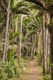 Trilha na floresta úmida das palmas de Nikau fotografia de stock royalty free