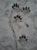 Trilhas da lontra na lama Imagem de Stock