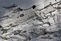 Trilhas de Grey Wood With Bark Beetle da árvore em Utá do norte fotos de stock