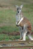Trilhas do canguru Imagens de Stock