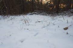 Trilhas dos cervos na neve no pôr do sol Foto de Stock Royalty Free
