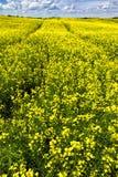 Trilhas no campo de florescência do canola Imagem de Stock Royalty Free