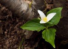Trilium blomma Arkivbild