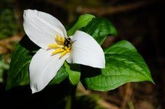 Trilium wildflower with beetle stock photography
