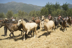 Trilla. Febrero 2 de 2013. Aguila Sur, Paine, Chile. Unknown Riders horse herd flock of ripe wheat threshing party manners during the Chilean countryside Stock Photography