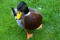 Trillend Duck Close-Up royalty-vrije stock fotografie