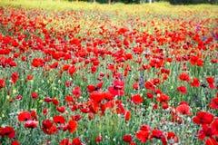 Trillend gebied van rode papavers en gele bloemen Selectieve nadruk royalty-vrije stock foto
