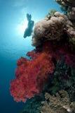 Trillend rood zacht koraal met scuba-duikersilhouet Stock Afbeeldingen