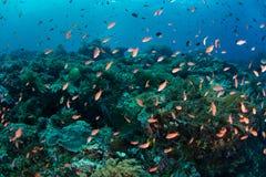 Trillende Anthias en Ertsader in Coral Triangle Stock Fotografie