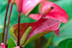 Trillende Anthurium lillies Stock Afbeeldingen