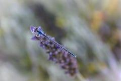Trillende Blauwe Damselfly op Lavendel Stock Afbeeldingen