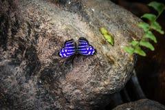 Trillende blauwe vlinder Royalty-vrije Stock Foto's