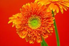 Trillende Bloemen Gerbera Royalty-vrije Stock Afbeeldingen