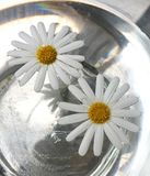 Trillende Daisy Flowers Floating in Water royalty-vrije stock afbeelding