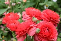Trillende en mooie rode rozen Stock Foto's